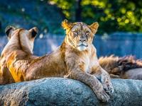 В света на лъвския прайд