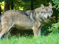 Животът в глутницата вълци