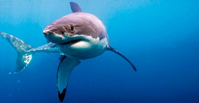 акули-1