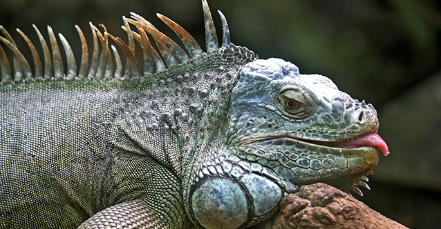 animal-close-up-iguana-86598