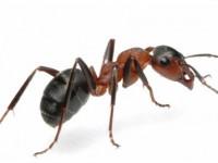 Войнствените мравки