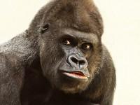 Приключение с горили
